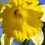 Gelbe Narzisse Bluete gelb Narcissus pseudonarcissus 02