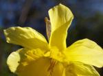 Gelbe Narzisse Bluete gelb Narcissus pseudonarcissus 03