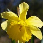 Gelbe Narzisse Bluete gelb Narcissus pseudonarcissus 05