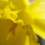 Gelbe Narzisse Bluete gelb Narcissus pseudonarcissus 06