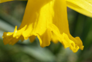 Gelbe Narzisse Bluete gelb Narcissus pseudonarcissus 09