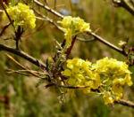 Bild: Gelbe Resede Blüte gelb Reseda lutea