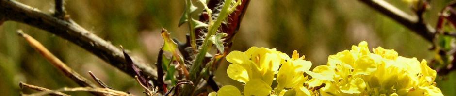 gelbe-resede-bluete-gelb-reseda-lutea
