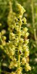 Bild: Gelbe Resede Blüte gelblich Reseda lutea