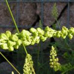 Bild: Gelbe Resede Fruchtstand grün Reseda lutea