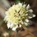 Zurück zum kompletten Bilderset Gelbe Skabiose Blüte hellgelb Scabiosa ochroleuca