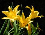 Gelbe Taglilie Bluete gelb Hemerocallis lilioasphodelus 01
