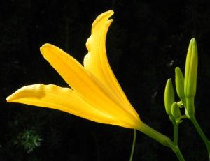 Gelbe Taglilie Bluete gelb Hemerocallis lilioasphodelus 02