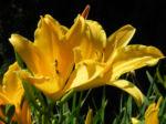 Gelbe Taglilie Bluete gelb Hemerocallis lilioasphodelus 04