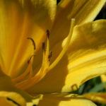 Gelbe Taglilie Bluete gelb Hemerocallis lilioasphodelus 05