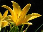 Gelbe Taglilie Bluete gelb Hemerocallis lilioasphodelus 08