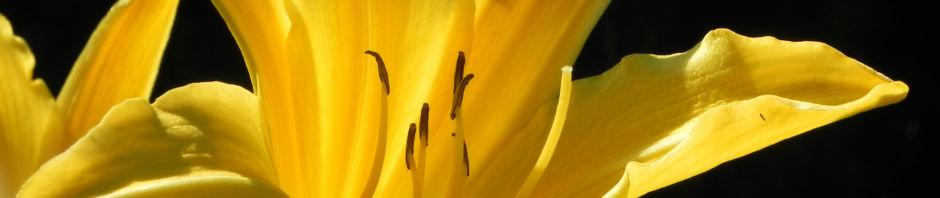 gelbe-taglilie-bluete-gelb-hemerocallis-lilioasphodelus