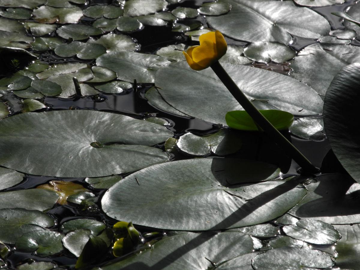 Gelbe Teichrose Blatt gruen Nuphar lutea