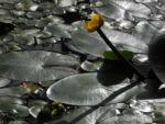 Gelbe Teichrose Blatt gruen Nuphar lutea 03