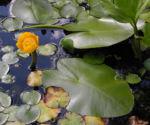 Bild: Gelbe Teichrose Blüte gelb Nuphar lutea
