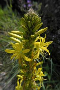 Gelber Affodil Bluete gelb Asphodeline lutea 08