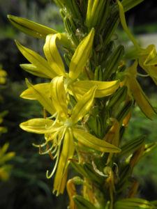 Gelber Affodil Bluete gelb Asphodeline lutea 16