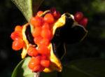 Gelber Pittosporum Frucht orange Pittosporum revolutum 01