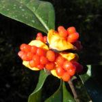 Gelber Pittosporum Frucht orange Pittosporum revolutum 03
