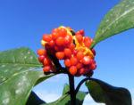 Gelber Pittosporum Frucht orange Pittosporum revolutum 05