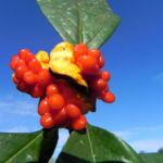 Gelber Pittosporum Frucht orange Pittosporum revolutum 06