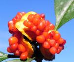 Gelber Pittosporum Frucht orange Pittosporum revolutum 07