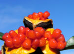 Gelber Pittosporum Frucht orange Pittosporum revolutum 09