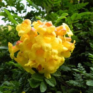 Gelber Trompetenstrauch Bluete gelb Tecoma alata 02