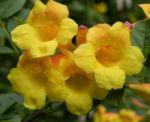 Gelber Trompetenstrauch Bluete gelb Tecoma alata 11
