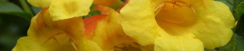 gelber-trompetenstrauch-bluete-gelb-tecoma-alata