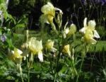 Gelbliche Schwertlilie Bluete Iris x flavescens 24
