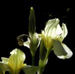 Gelbliche Schwertlilie Bluete Iris x flavescens 25