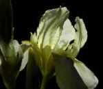 Gelbliche Schwertlilie Bluete Iris x flavescens 26