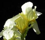 Gelbliche Schwertlilie Bluete Iris x flavescens 27