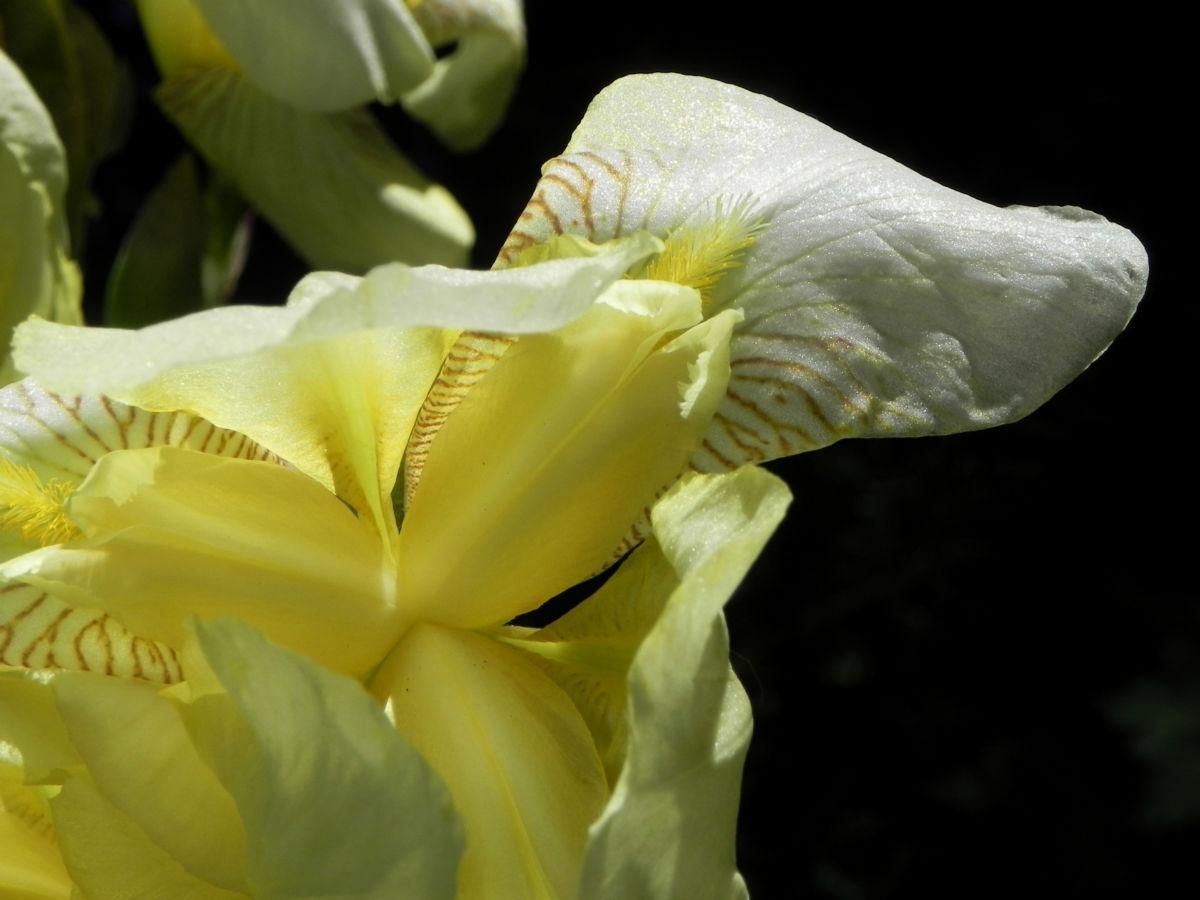 Gelbliche Schwertlilie Bluete Iris x flavescens
