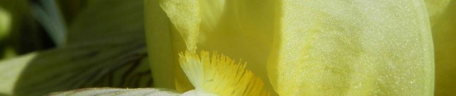 gelbliche-schwertlilie-bluete-gelb-iris-x-flavescens