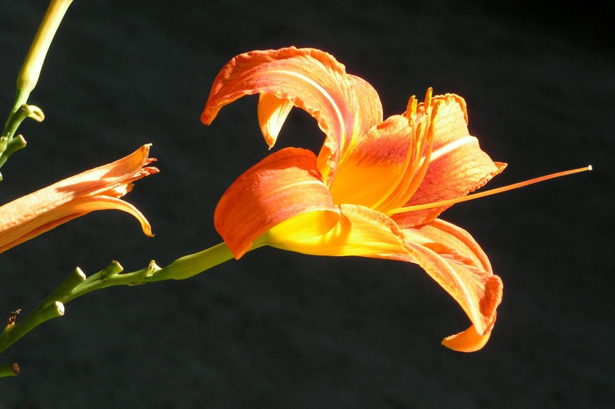 Gelbrote Taglilie Bluete orange Hemerocallis fulva