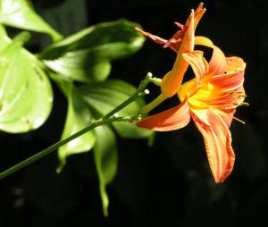 Gelbrote Taglilie Bluete orange Hemerocallis fulva 08