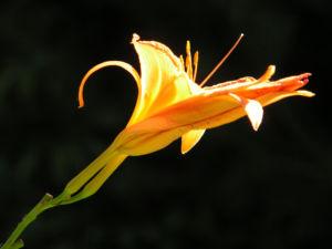 Gelbrote Taglilie Bluete orange Hemerocallis fulva 09