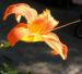 Zurück zum kompletten Bilderset Gelbrote Taglilie Blüte orange Hemerocallis fulva