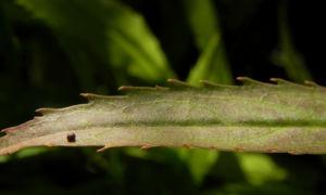 Gelenkblume Blatt gruen Physostegia virginiana 20