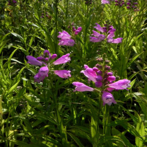 Gelenkblume Bluete pink Blatt gruen Physostegia virginiana 20