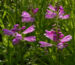 Zurück zum kompletten Bilderset Gelenkblume Blüte pink Blatt grün Physostegia virginiana