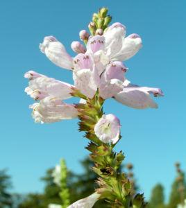 Gelenkblume Bluete weiss rose Physostegia virginiana 08