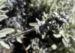Zurück zum kompletten Bilderset Gelöstes Gliedkraut Blüte hellgelb Sideritis soluta