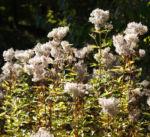 Gemeinder Wasserdost Samen silbrig Eupatorium cannabinum 02