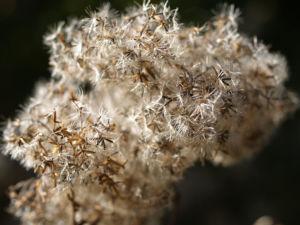 Gemeinder Wasserdost Samen silbrig Eupatorium cannabinum 03