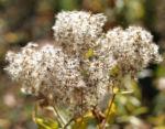 Gemeinder Wasserdost Samen silbrig Eupatorium cannabinum 06