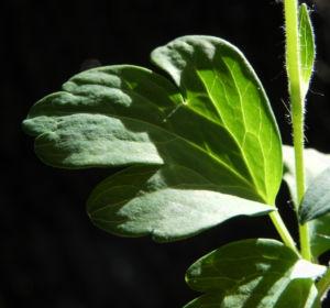 Gemeine Akelei Blatt gruen Aquilegia vulgaris 10