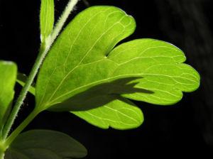 Gemeine Akelei Blatt gruen Aquilegia vulgaris 12